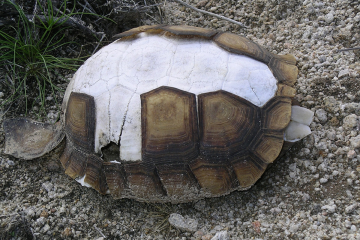 A brown turtle shell loses its protective plates exposing bone underneath as it decays in the desert.